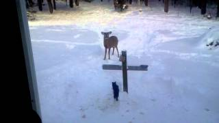 Cat Chasing Deer Off Bird Feeder!