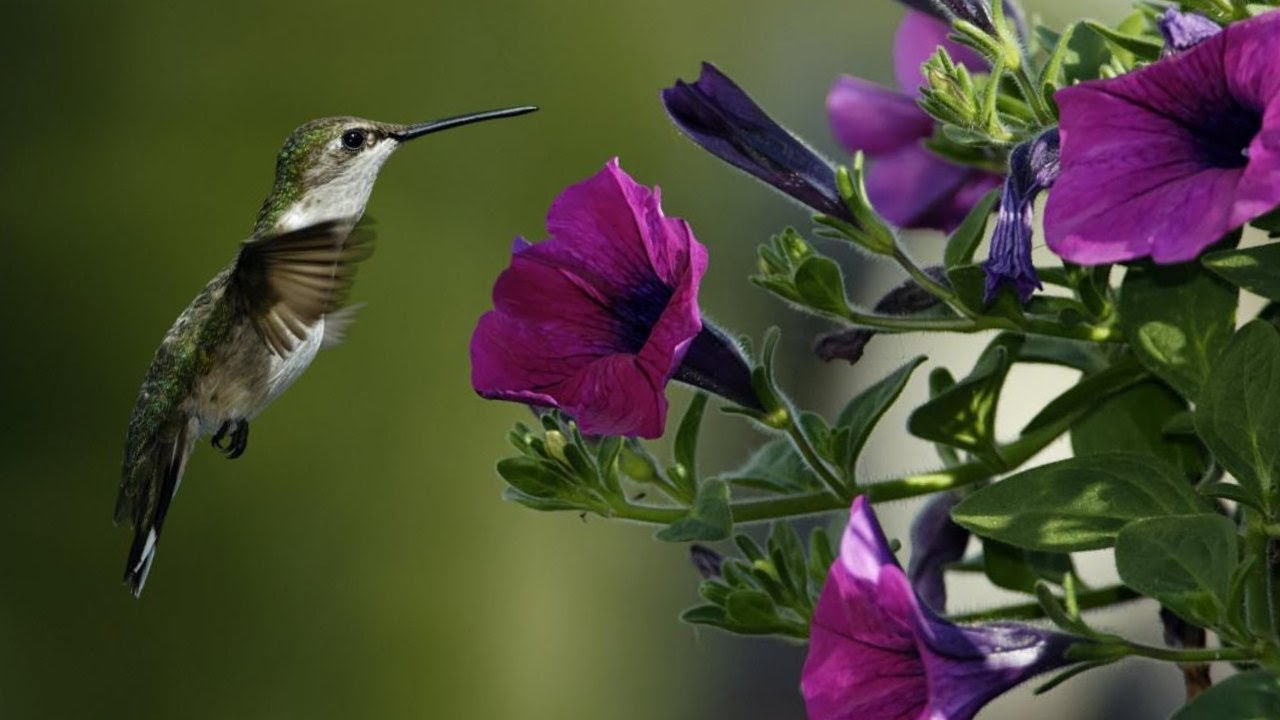 Foto de beija flor na flor 99