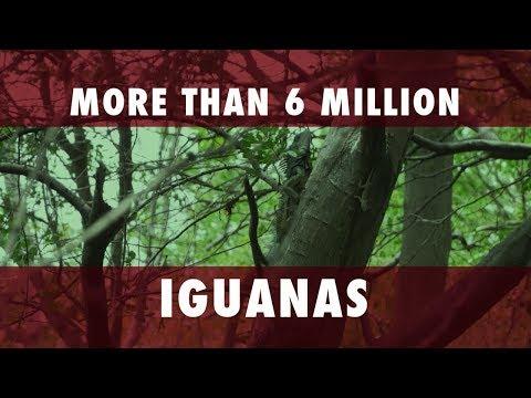 Iguana Hunting In Puerto Rico| Gun Talk
