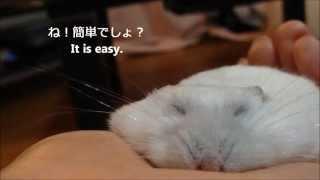 【関連】うす~くならないハムスター Hamster won't be thin http://you...