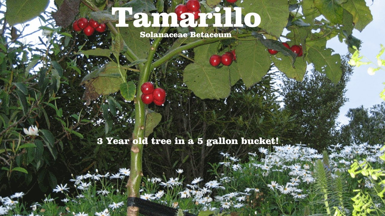 10+ seeds Heirloom Seeds! Dwarf Tamarillo Solanum abutiloides