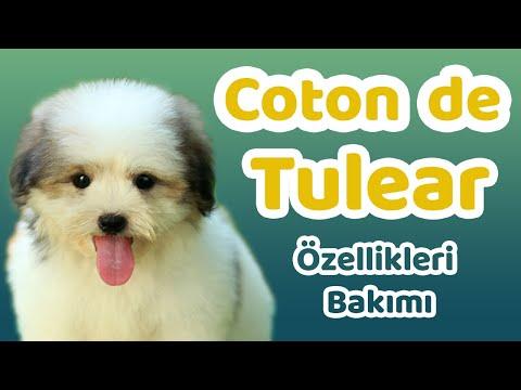 Coton de Tulear özellikleri, bakımı, beslenmesi, sağlığı ve eğitimleri