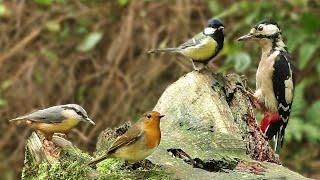 Bird Sounds Spectacular : 8 HOURS of Beautiful British Birds