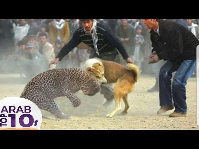فهد جائع يواجه اخطر كلب راعي الألماني والنتيجة صادمة..!!
