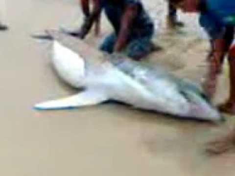 Tubarão em Pipa II.3gp