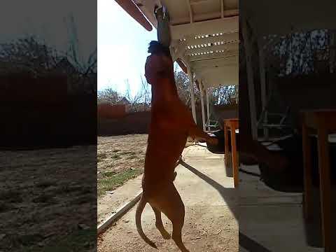 Real Pit Bull Terrier (BANDO)