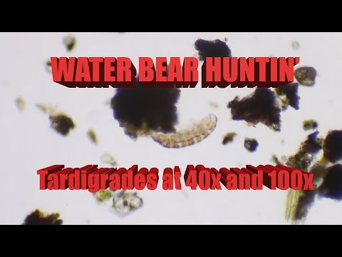 Thumbnail: SCIENCE with WATER BEARS! Tardigrades at 40 and 100x