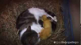 Утята и котята