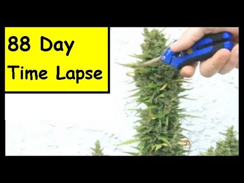 TIME LAPSE - Ruderalis Cannabis Plant From Seed To Harvest