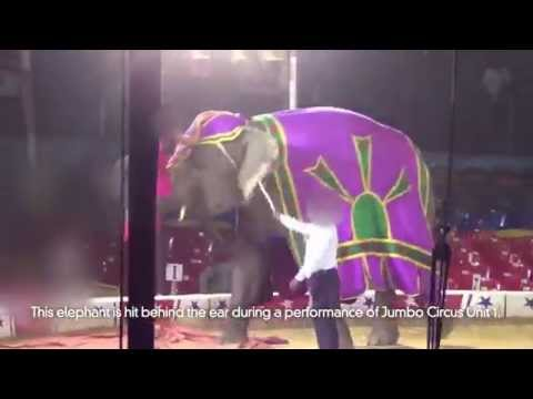 Cruelty to Elephants in Circuses: A Quick Look