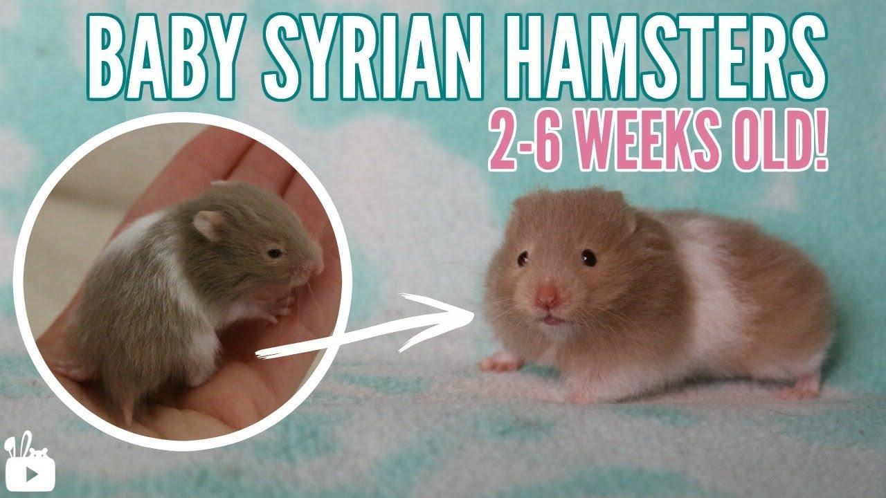 BABY HAMSTERS | 2 weeks to 6 weeks