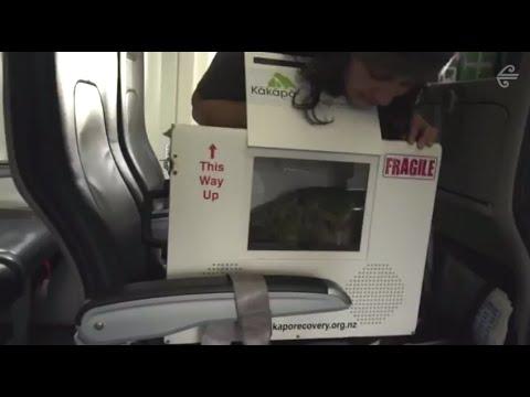 Sirocco the Kakapo takes flight with Air New Zealand