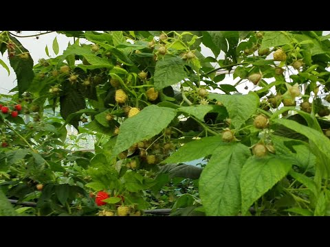 Энросадира. Ремонтантный сорт малины. Месяц спустя после начала сбора урожая.