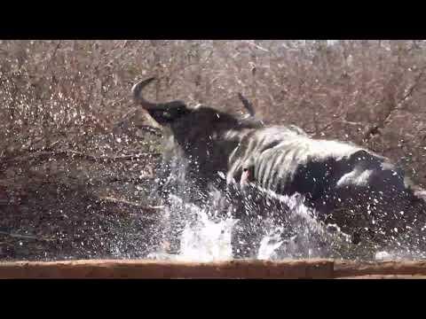 Motsomi Safaris Cross Bow Hunting Blue Wildebeest Day