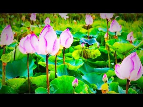 Download The Lotus Pond _Popragaon_Bishpani_Bongaigaon. #thesamfames