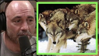Joe Rogan | Wolf Super Packs in Russia