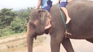 Elephant Rides Are Terrible For Elephants