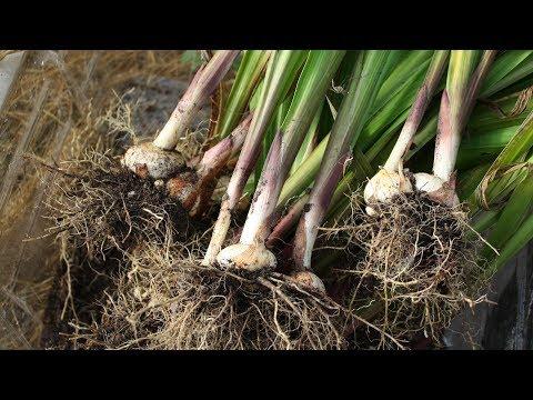 Надо ли выкапывать гладиолусы осенью