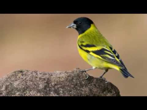 Download Lagu Hooded Siskin (Spinus magellanica) - Master Kenari Blackthroat