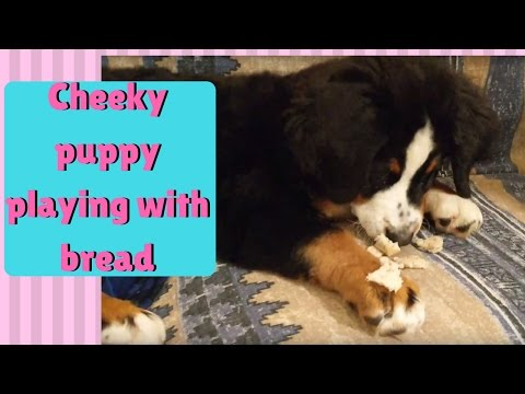 Cute and BIG Bernese Mountain Dog puppy playing with bread 4K HD