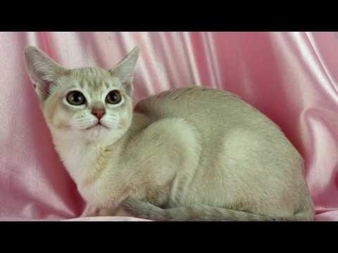 Порода кошек. Бурмилла длинношерстная.Редкая порода кошек. Привязана сильно к хозяину.