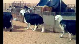 اغنام صحراء الدهناء Najdi sheep