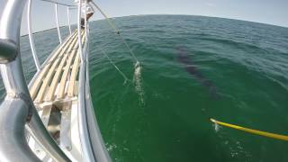 Atlantic White Shark Research: Report from the Field #3
