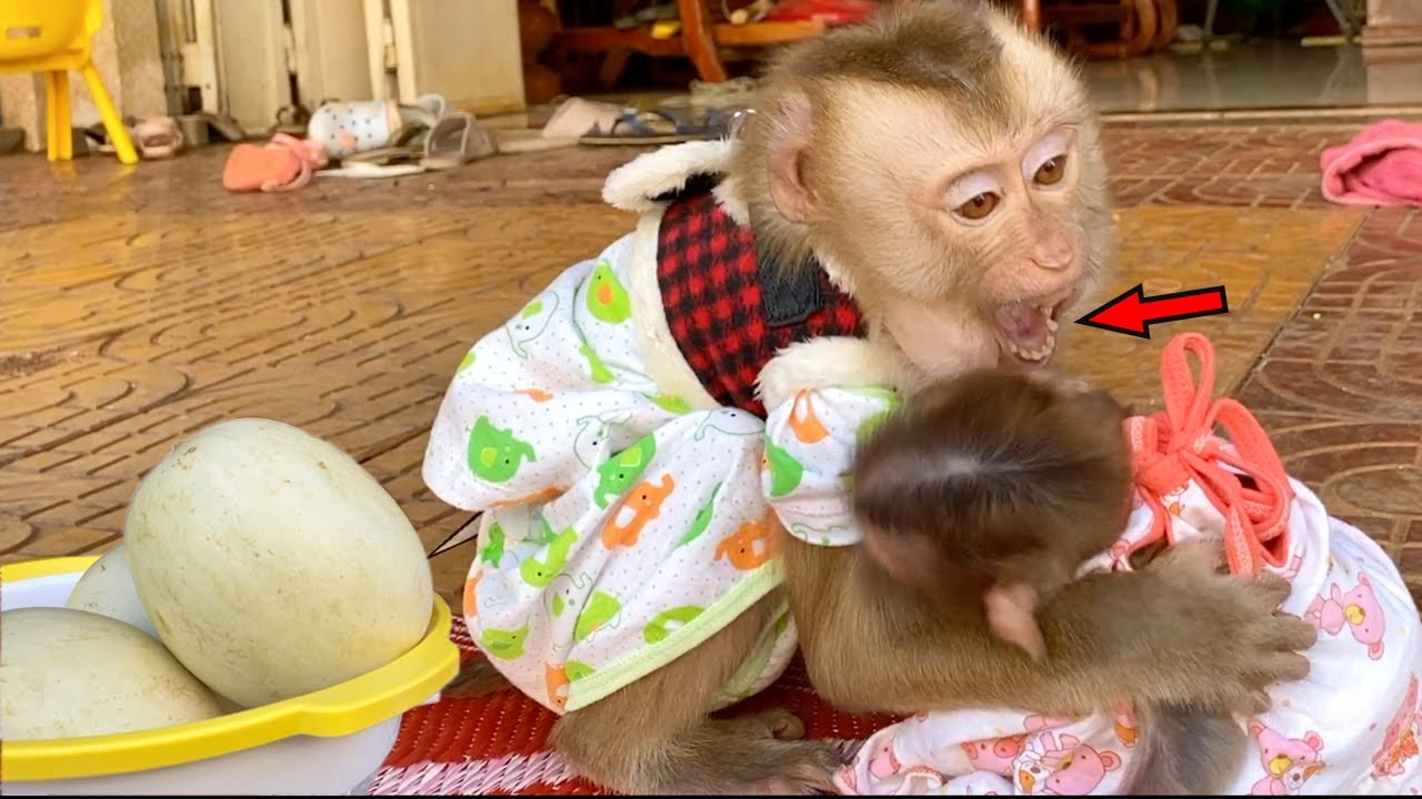Baby Monkey DouDou And Bono Like Playing When Eating Melon Fruit