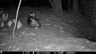 Badger boar on his back, grooming