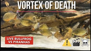 PIRANHA VS BULLFROG LIVE FEEDING ( WARNING! GRAPHIC CONTENT)