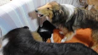 2017年6月17日生まれのラフコリーの子犬と成犬の様子です。兄弟や大人と...