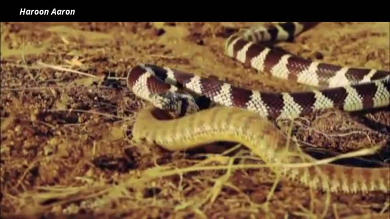 Swallowed Alive - King Snake vs Rattlesnake - YouTube |King Snake Vs Rattlesnake