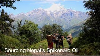 Spikenard Essential Oil- doTERRA's Responsible Sourcing of Spikenard Oil