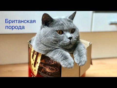 Насколько ЛЮБОПЫТНЫ британские КОТЫ?  Смешные моменты / BRITISH CAT HARRY