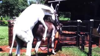 Hybrid Horse Donkey Mating with Burro