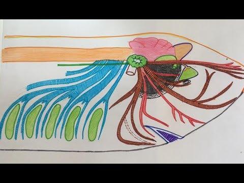 Cranial Nerves // Nervous System Of Scoliodon