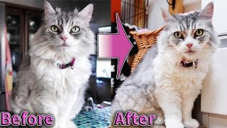 ロン毛の猫を素人がハサミだけでサマーカットした結果…。 Cutting long-hair breed cat's hair with only scissor.
