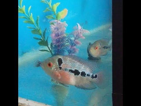 flowerhorn fish breeding process in urdu at home - YouTube