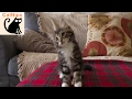 Dancing Kitten Loves Techno Music | Catnips