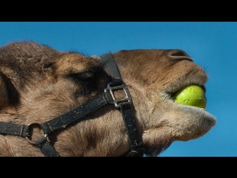 A camel awkwardly eating an apple