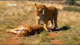 Битвы диких животных. Тигр убивает.. Тигра HD
