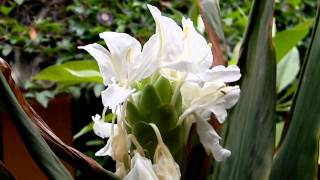 DOLON CHAMPA flower