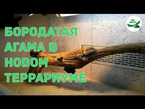 видео: Бородатая агама в новом террариуме