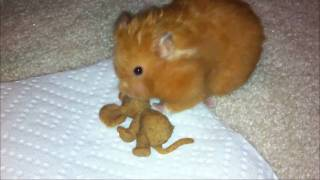 Cute Hamster (lady Gaga) Eating A Mouse