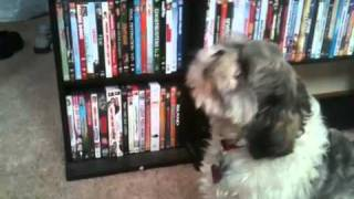 Weird little dog howling at a squeaky toy.