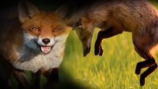 call a fox Silva Silvafox Tenterfield Fox Whistle calling for eletronic caller mp3 downloadable file