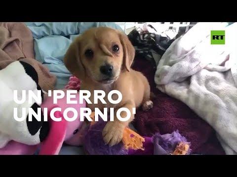 """El """"perro unicornio"""" que se ha convertido en un fenómeno viral"""