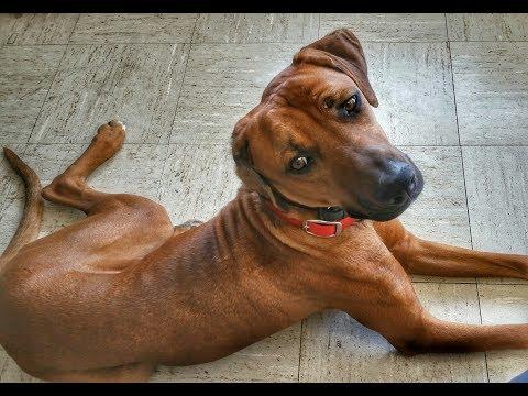 Blue - Rhodesian Ridgeback - Dog Training Omaha Nebraska, Lincoln Nebraska