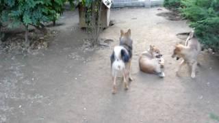 樹木里の川上犬の仔犬。仔犬同士で遊ぶ。これが非常に大事なこと。絶対...