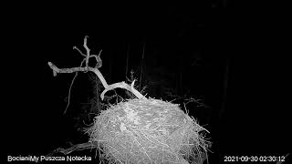Bocian czarny Online Puszcza Notecka / Black stork Online Notecka Forest